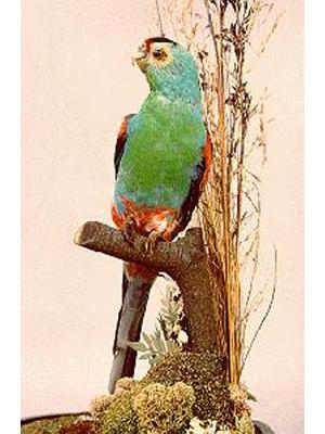 Paradise Parrot