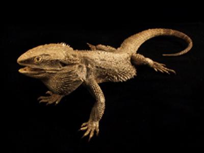 Bearded Dragon - Amphibolurus Barbatus