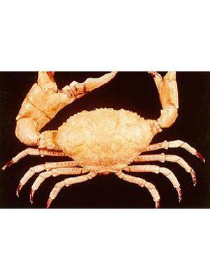 King Crab Shell Display