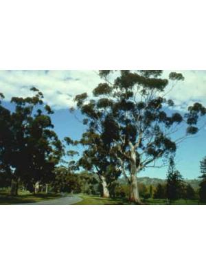 Avenue of sugar gums Eucalyptus Cladocalyx