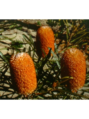 Banksia 'Waite Orange'