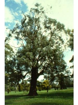 Eucalyptus microcarpa