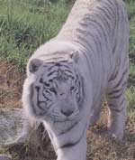 A rare white Bengal tiger in residence at Dubbo's Western Plains Zoo.