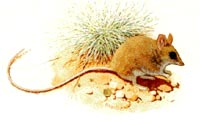 The long tailed dunnart - one of the areas notable inhabitants - and an endangered marsupial.